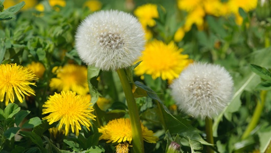 Fall Lawn Weeds: Prepare for Battle - Nutri-Lawn Burlington  - Featured Image