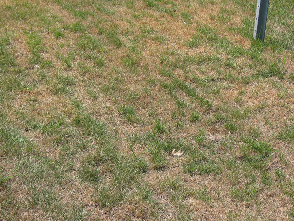 Your Summer Lawn Isn't Dead... It's Dormant