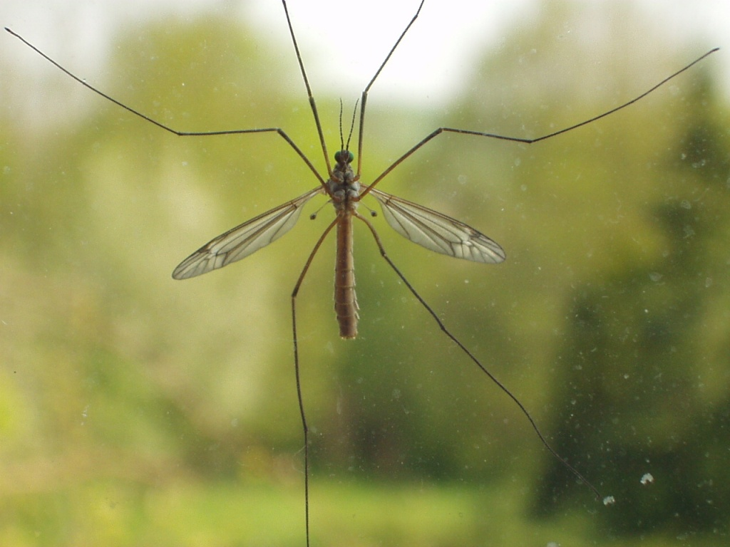 Lawn Pests: European Crane Fly - Featured Image