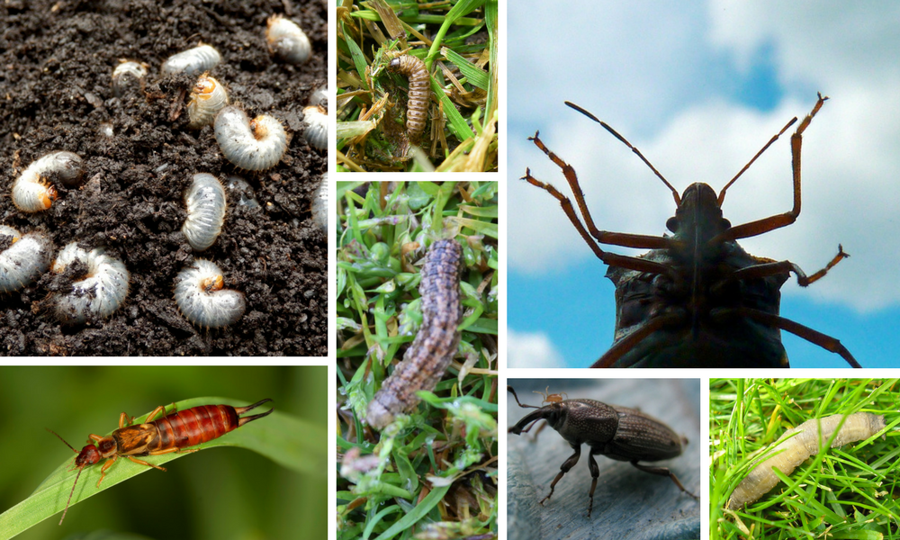 Common Canadian Lawn Insects - Featured Image