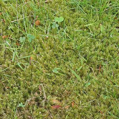 moss-lawn-pests