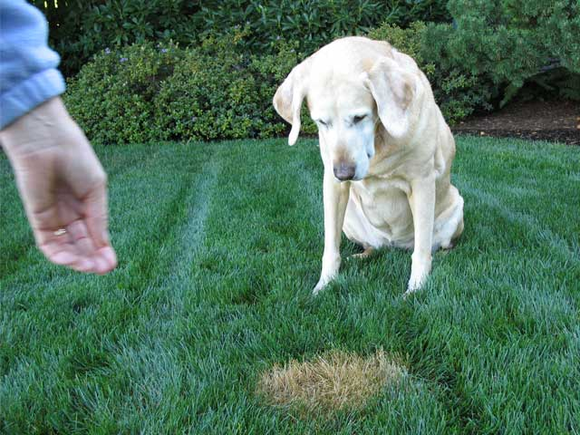 How To Prevent And Treat Lawn Damage By Dog Urine