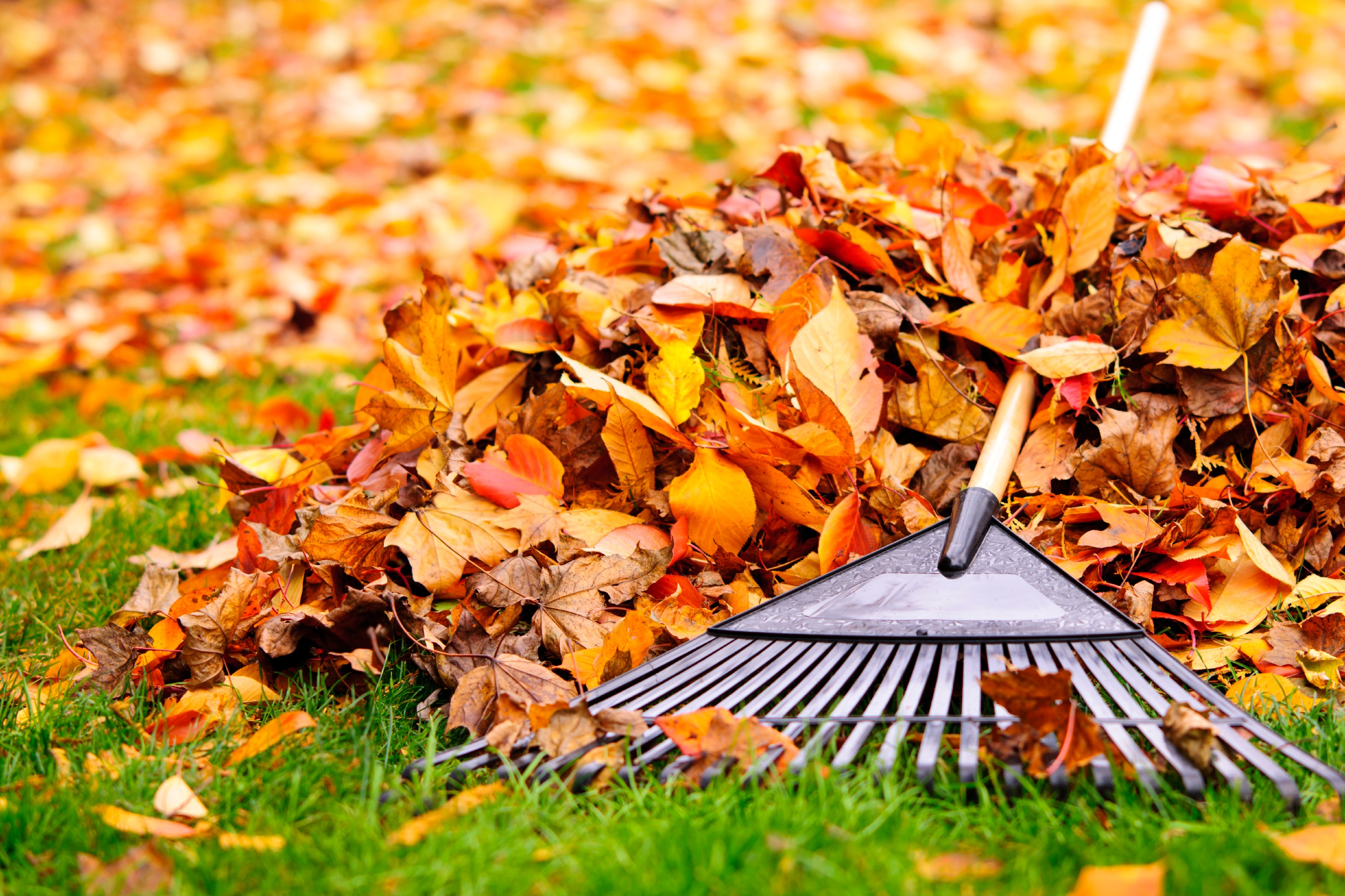 Raking Leaves Off Your Lawn in Fall - Featured Image