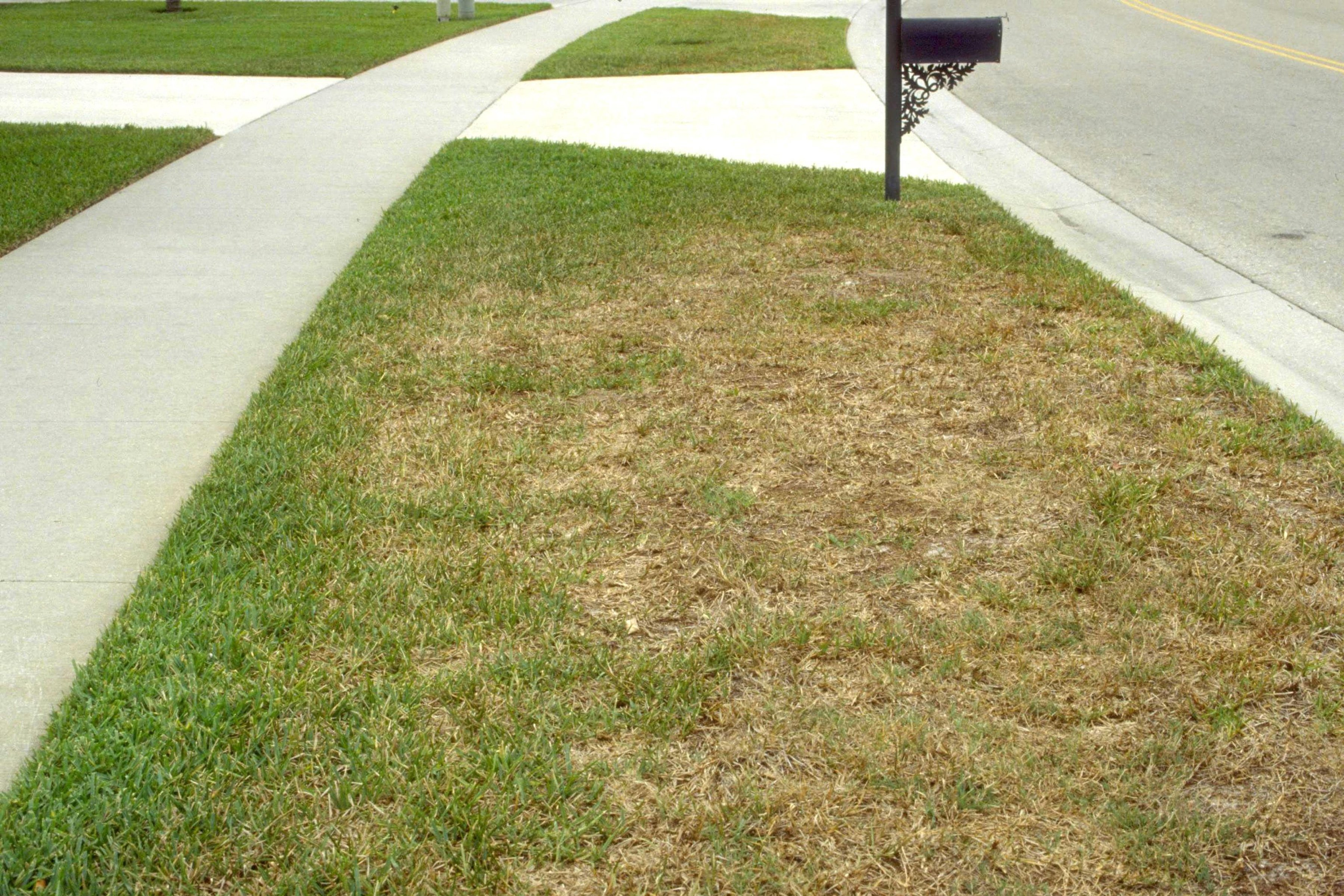 Managing and Recovering From Chinch Bug Damage - Featured Image