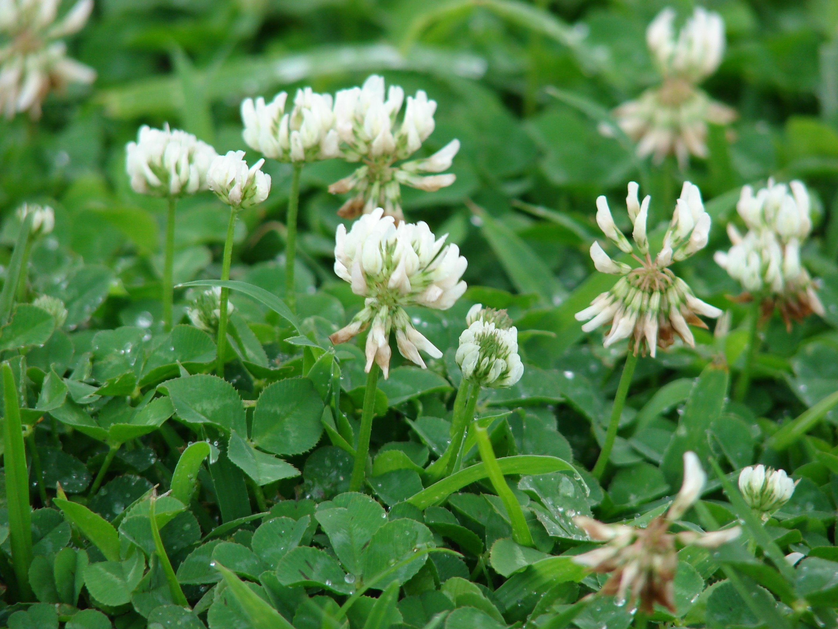 How To Get Rid Of Clover In Lawns